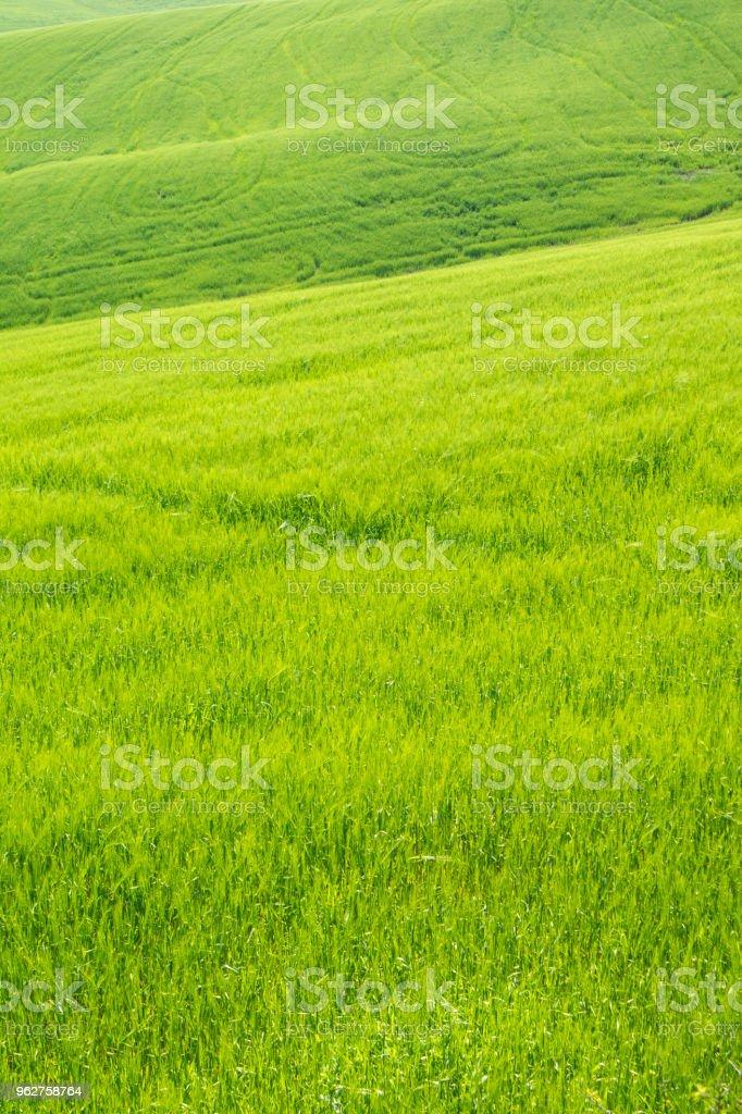 A cor do trigo amadurecimento - Foto de stock de Agricultura royalty-free