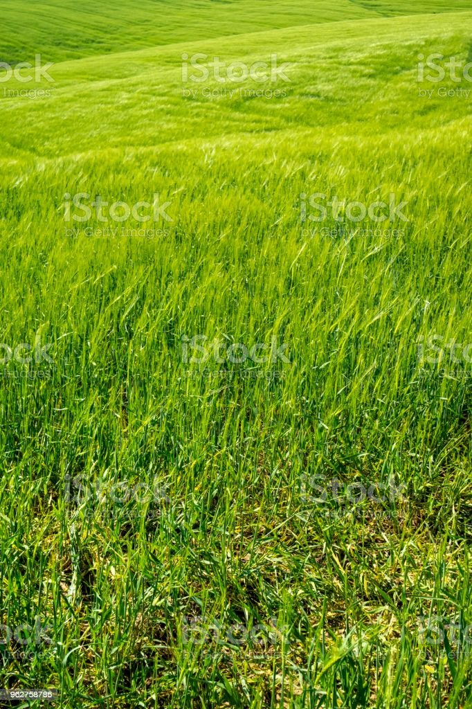 The color of the ripening wheat - Foto stock royalty-free di Agricoltura