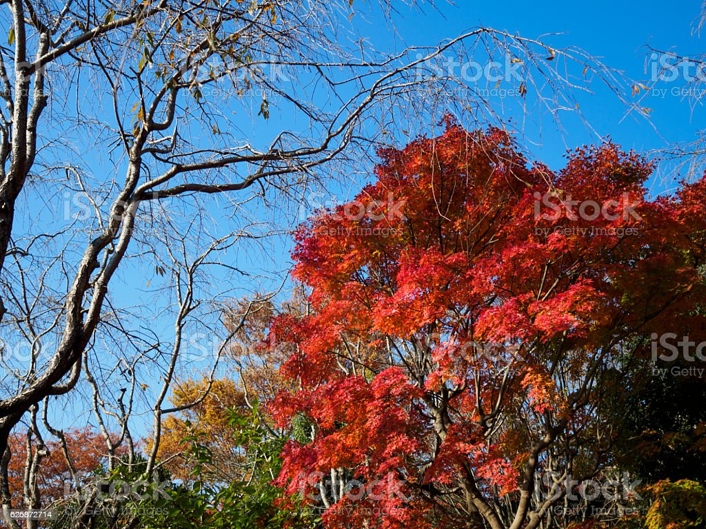 The colored leaves which shine in a blue sky ストックフォト