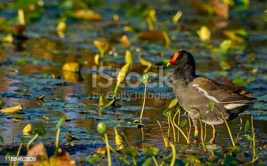 The beautiful Common Moorhen in the natural surroundings of Orlando Wetlands Park in central Florida.  The park is a large marsh area which is home to numerous birds, mammals, and reptiles.