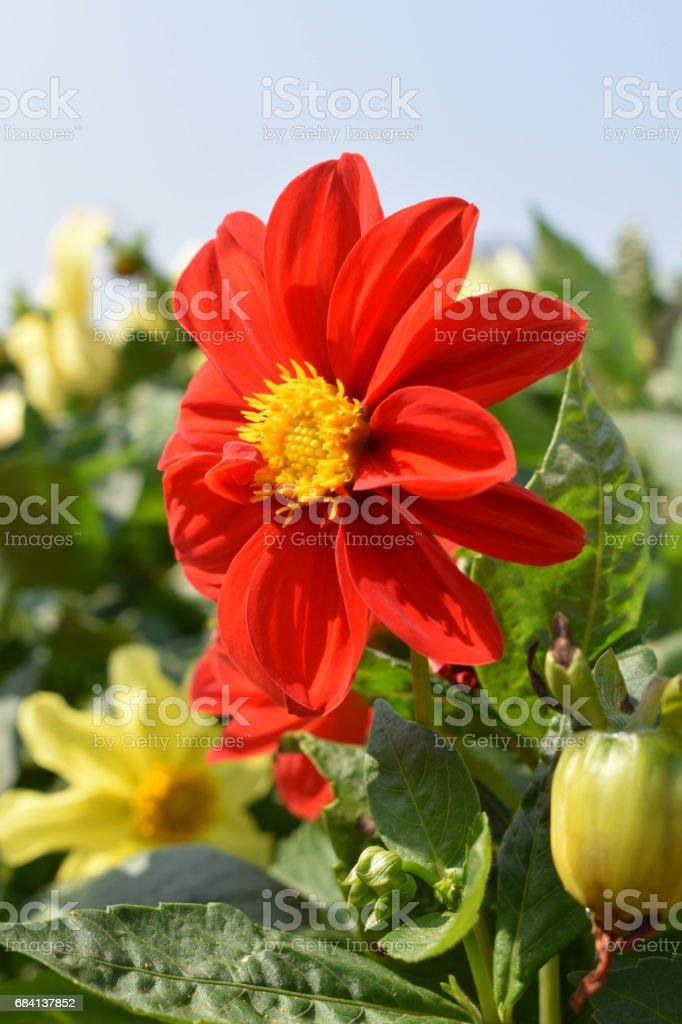 The colorful flower royalty free stockfoto