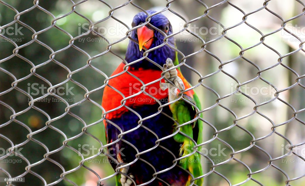 The colorful parrot is holding on wire mesh. stock photo
