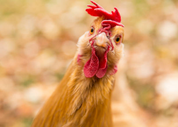 The Comb Over The chicken wanted to model for the camera. chicken stock pictures, royalty-free photos & images