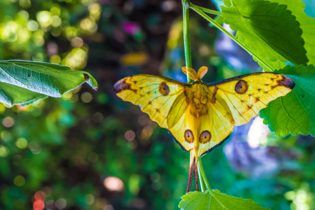 The comet moth or madagascan moon moth is an african moth native to picture id955505194?b=1&k=6&m=955505194&s=612x612&w=0&h=poxtauc3pjksel3zxpqtdvolf pdrx8oxn ytldqsha=