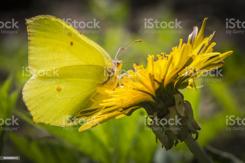 The Common Brimstone (Gonepteryx rhamni) stock photo