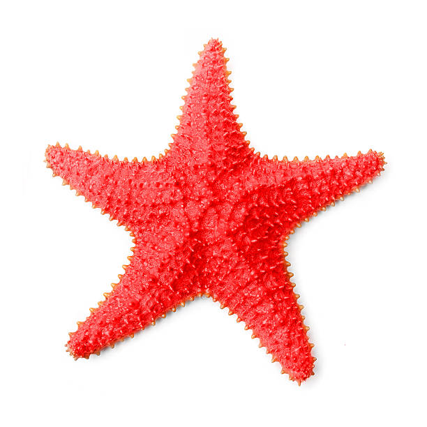 The Common Caribbean Starfish. The Common Caribbean Starfish Oreaster reticulatus on a white background. starfish stock pictures, royalty-free photos & images