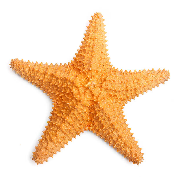 The common Caribbean starfish. The common Caribbean starfish (Oreaster reticulatus) isolated with shadow on a white background. starfish stock pictures, royalty-free photos & images