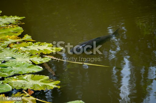 istock The common carp or European carp (Cyprinus carpio) is a widespread freshwater fish of eutrophic waters in lakes and large rivers in Europe and Asia. 1186246588