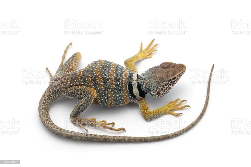 The common collared lizard isolated on white background stock photo