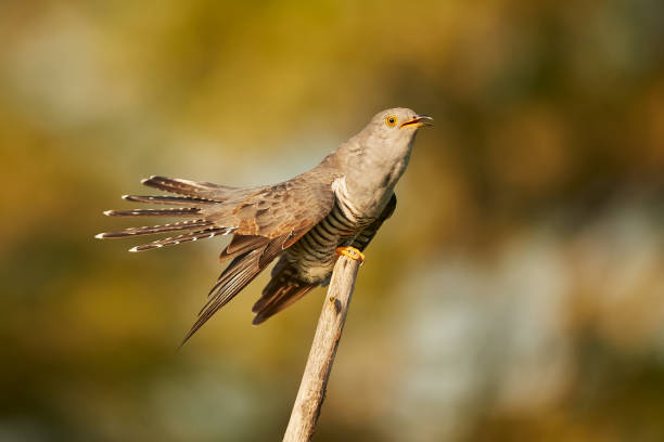 The common cuckoo (Cuculus canorus) in the in beautiful spring light. The cuckoo sits on a branch and calls for a partner. stock photo