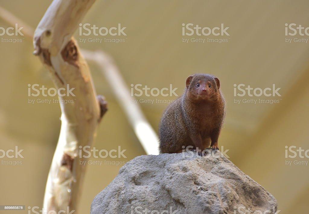 The common dwarf mongoose stock photo