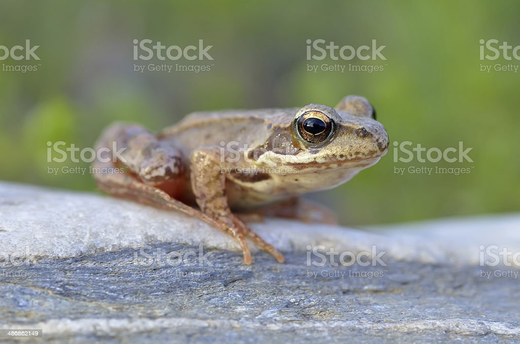 The Common Frog royalty-free stock photo