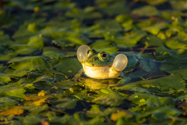 The common Green Frog (Lake Frog or Water Frog) in the water in Danube Delta. Closeup frog photography at sunrise stock photo