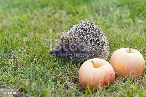 The common hedgehog (lat. Erinaceus europaeus) with apples on the grass. City Park