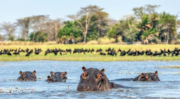 das gemeinsame nilpferd im wasser. - sambia stock-fotos und bilder