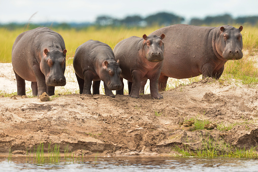 This Hippo was pretty agressive and made it clear he wanted us to leave.
