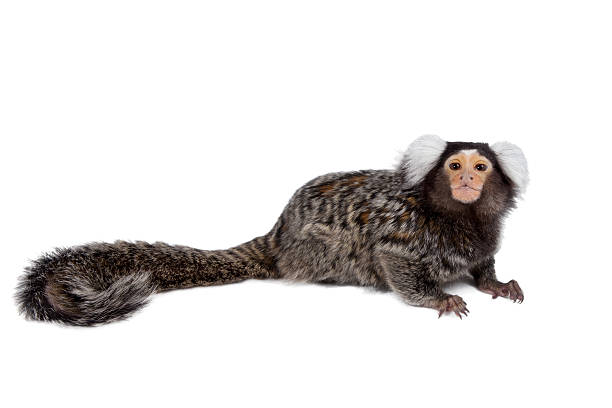 The common marmoset on white The common marmoset, Callithrix jacchus, isolated on white background marmoset stock pictures, royalty-free photos & images