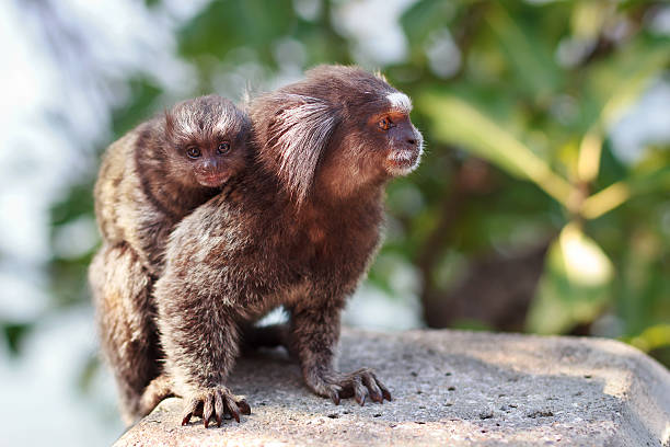 The common marmoset (Callithrix jacchus) White-eared female monk The common marmoset (Callithrix jacchus) White-eared female monkey with baby. Selective focus common marmoset stock pictures, royalty-free photos & images