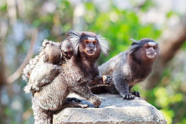 The common marmoset (Callithrix jacchus) White-eared monkey fami The common marmoset (Callithrix jacchus) White-eared monkey family: male and female with baby. Selective focus common marmoset stock pictures, royalty-free photos & images