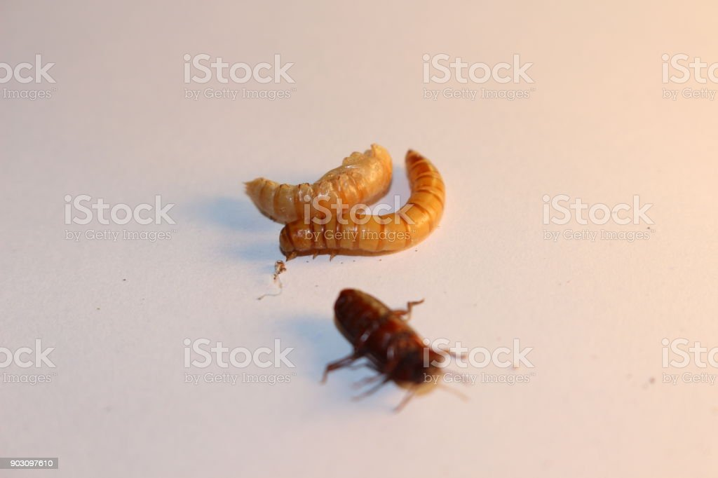 The common meal worm life cycle. This shows the meal worm the pupae and the darkling beetle. This is the full reproductive cycle. Important for the bait industry and feeder industry. A possible future protein. stock photo