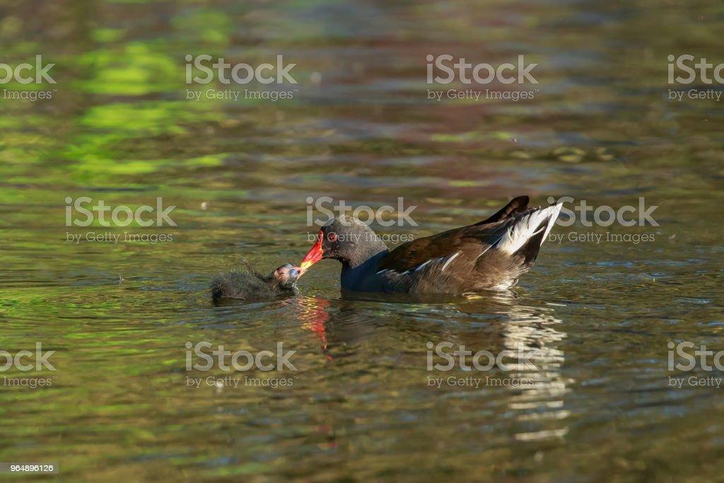 常見的 moorhen 餵養它的小雞 - 免版稅動物圖庫照片