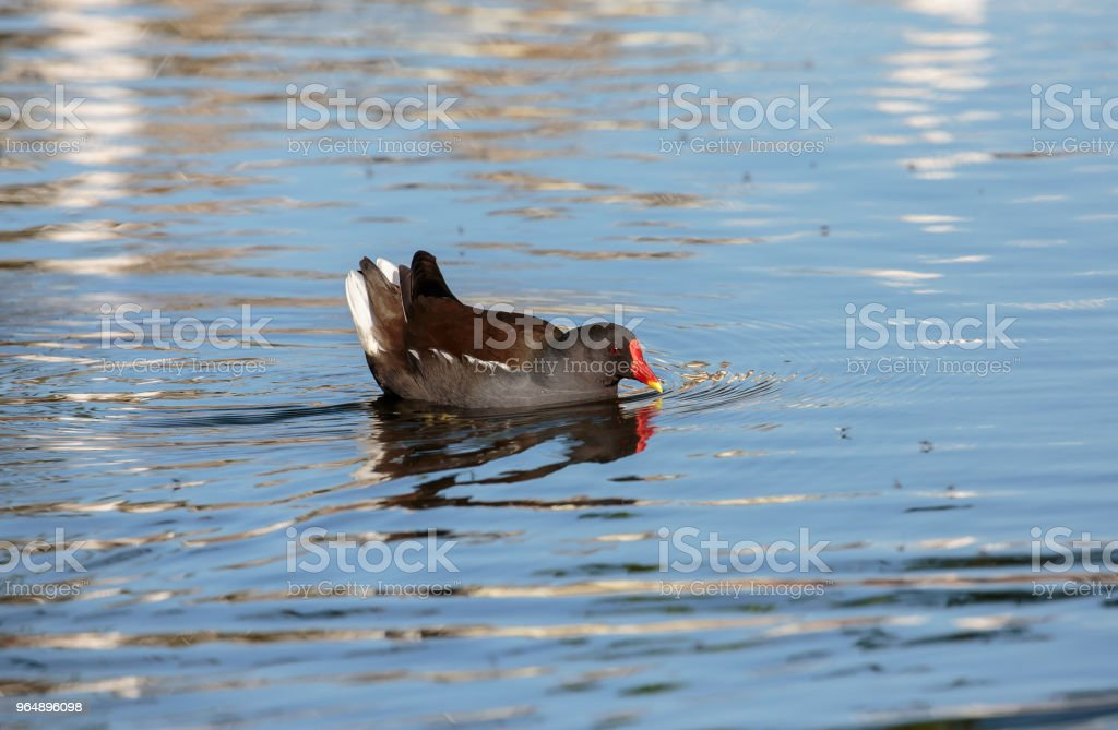The common moorhen in blue water royalty-free stock photo