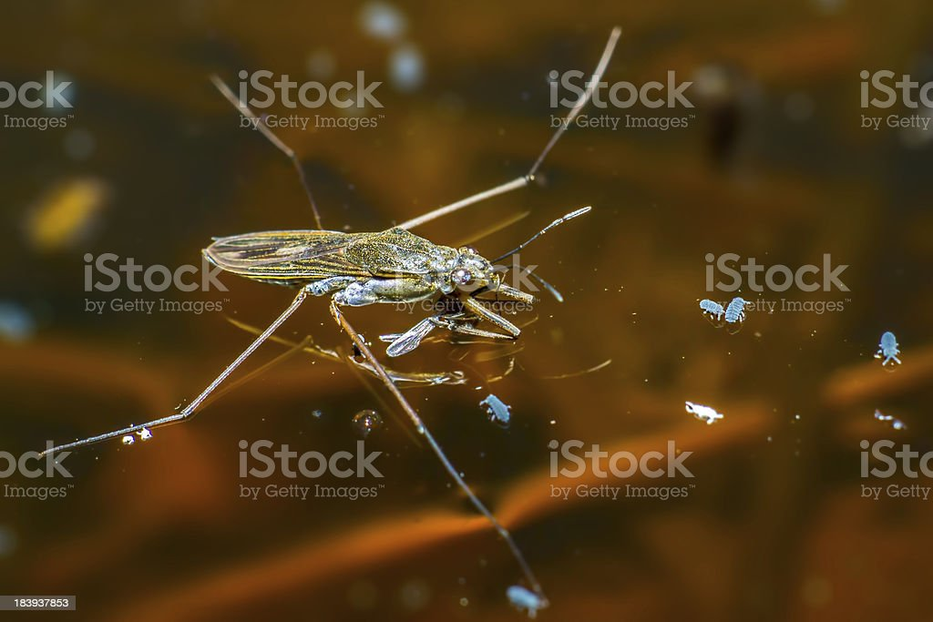 The common pond skater (Gerris lacustris) stock photo