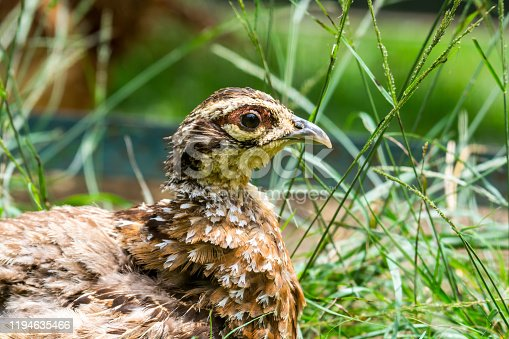 The common quail (Coturnix coturnix) or European quail is a small ground-nesting game bird in the pheasant family Phasianidae