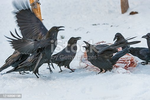 The Common Raven (Corvus corax), also known as the Northern Raven, is a large, all-black passerine bird. Found across the northern hemisphere, it is the most widely distributed of all corvids. Eating from the bones of an animal.