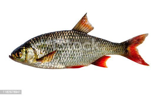 The common rudd (Scardinius erythrophthalmus) is a bentho-pelagic freshwater fish, widely spread in Europe and middle Asia, around the basins of the North, Baltic, Black, Caspian and Aral seas.