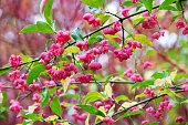 istock The common spindle shrub, Euonymus europaeus, also known as European or Common Spiked Cap 1197939437