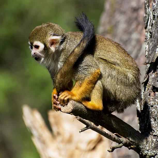 일반 다람쥐원숭이 (Saimiri sciureus 스톡 사진
