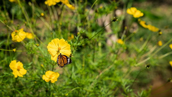 The common tiger butterfly with open wings as it sits on a flower