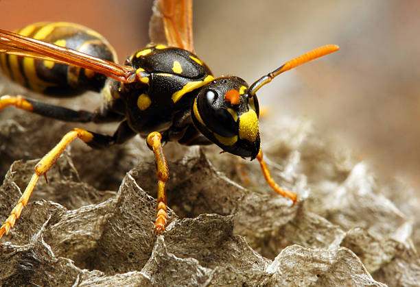 The Common wasp. stock photo