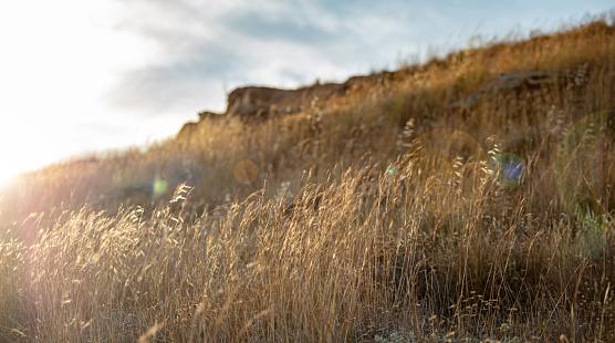 The common wild oat, the avena fatua background, at Kea, Tzia island, Greece.
