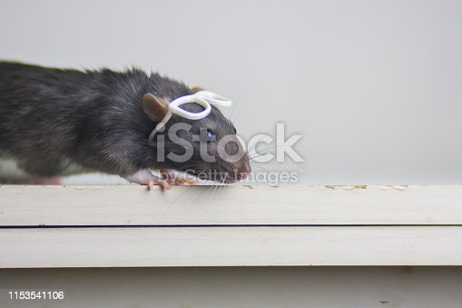 istock The concept of healthy vision. Gray mouse with glasses on his head. 1153541106