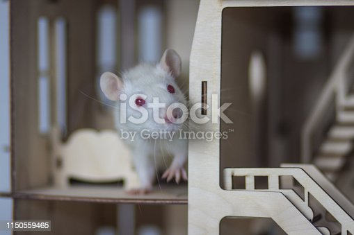 istock The concept of hiding. White mouse hiding in the house. 1150559465