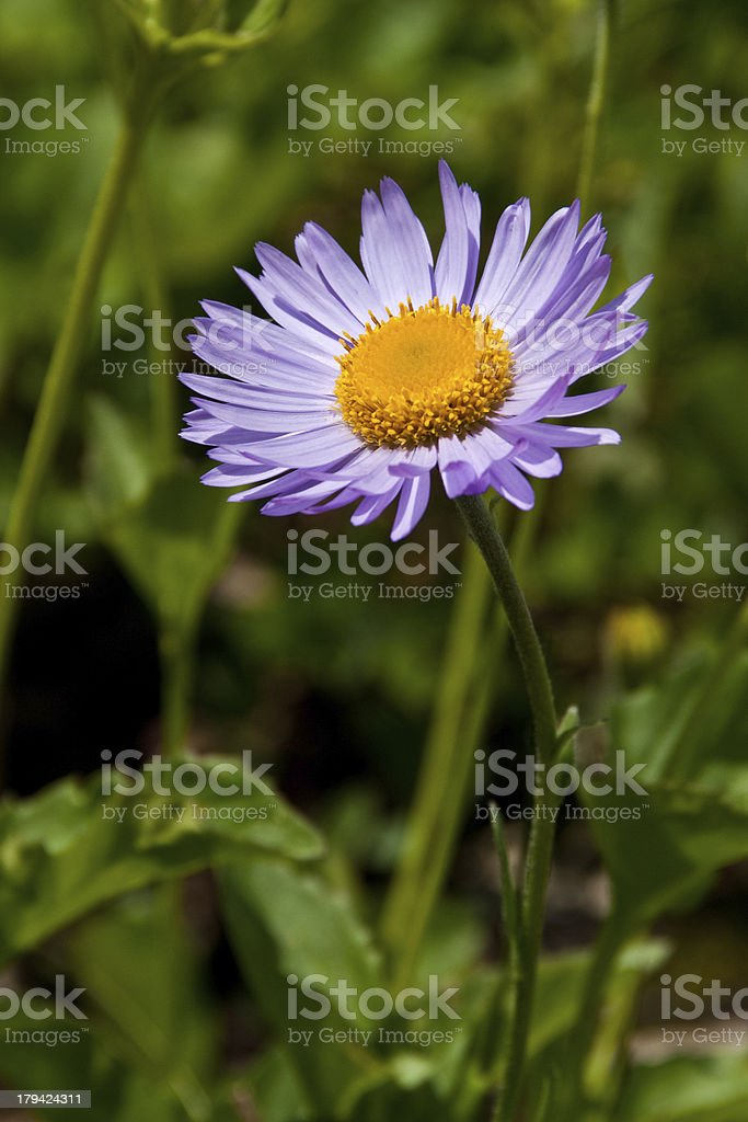 Purple Aster royalty-free stock photo