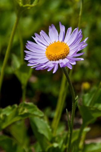 Purple Aster Stock Photo - Download Image Now
