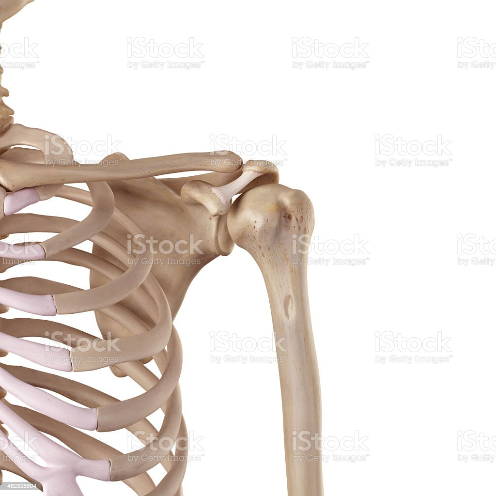The coracoacromial ligament stock photo