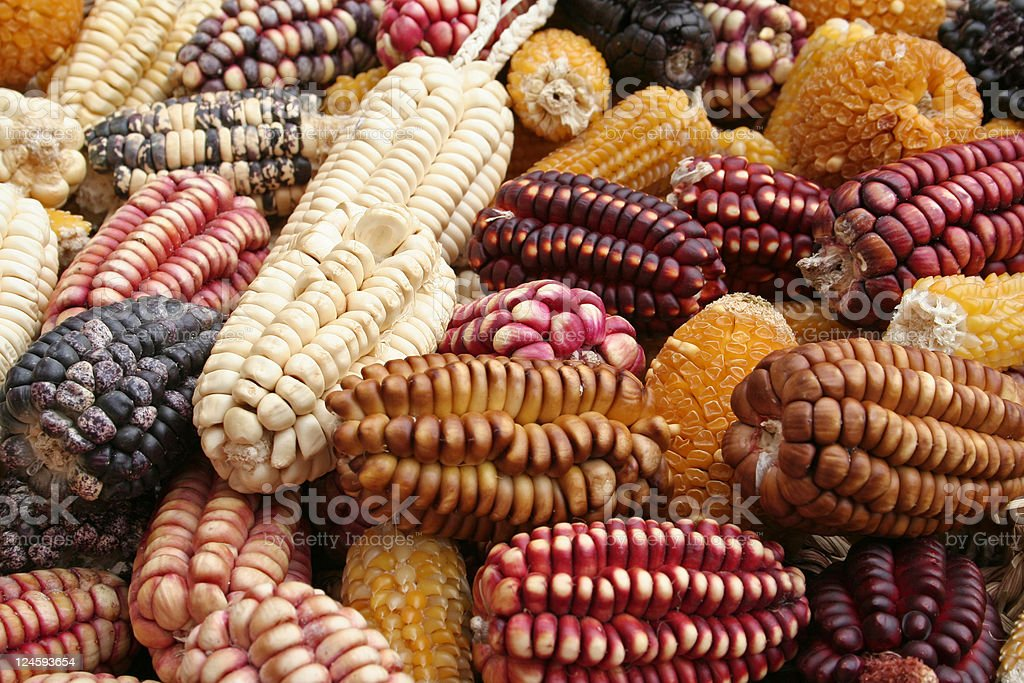 The corn in colors stock photo