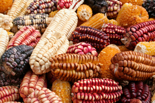 The Corn In Colors Stock Photo - Download Image Now