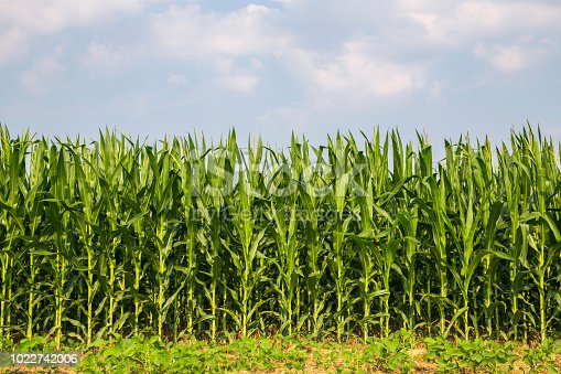 The corn in the field