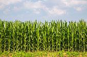 The corn in the field