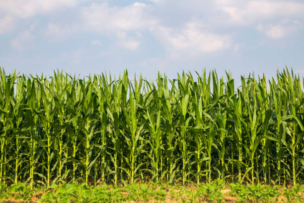 the corn in the field - milho imagens e fotografias de stock