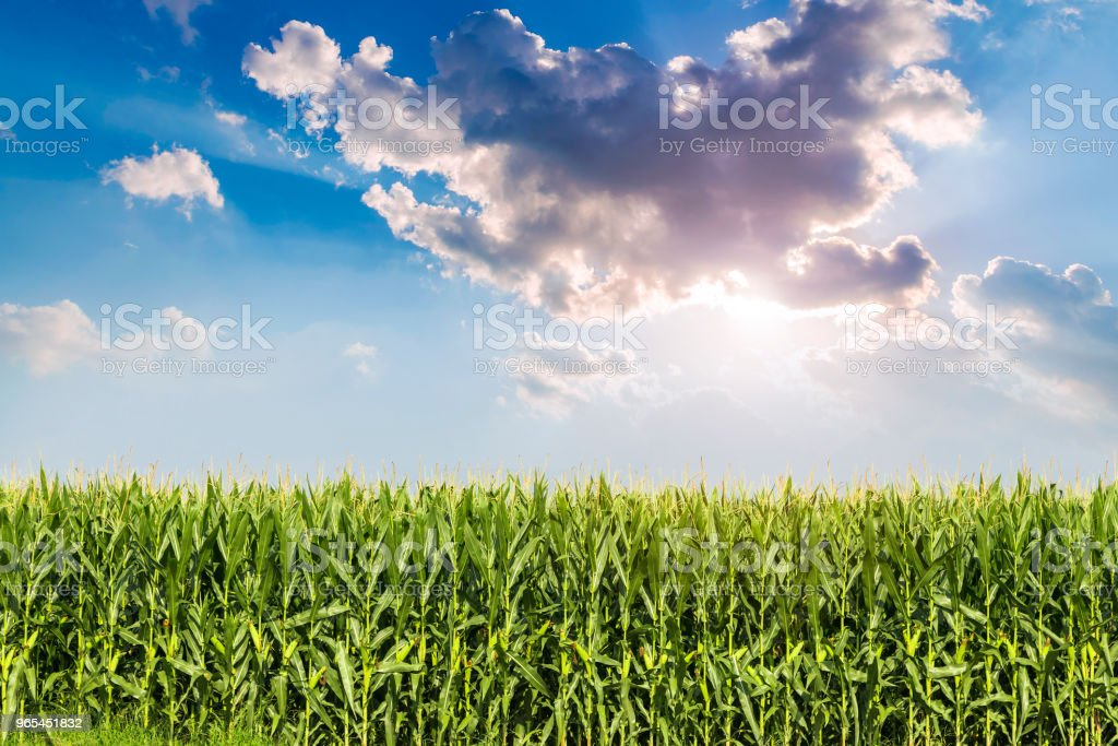The corn in the field royalty-free stock photo