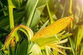 corn,plant,agriculturecorn,plant,agriculture