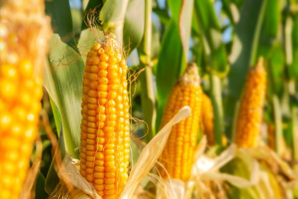 the corn plant in the field - milho imagens e fotografias de stock