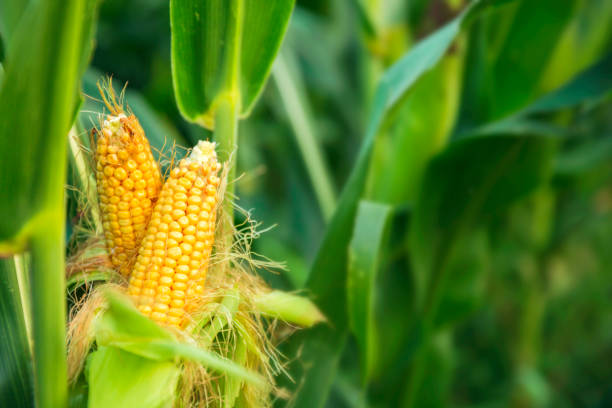 The corn plant in the field corn,plant,agriculturecorn,plant,agriculture sweetcorn stock pictures, royalty-free photos & images