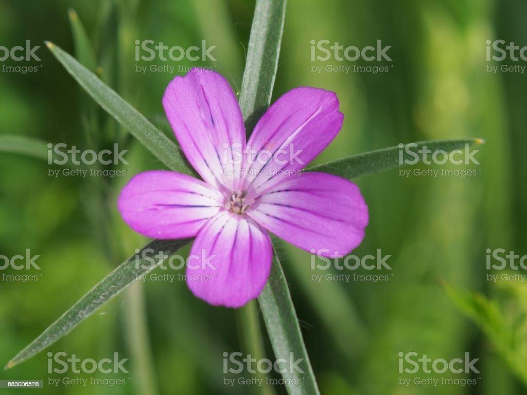 la flor de corncockle (githago de Agrostemma) - foto de stock